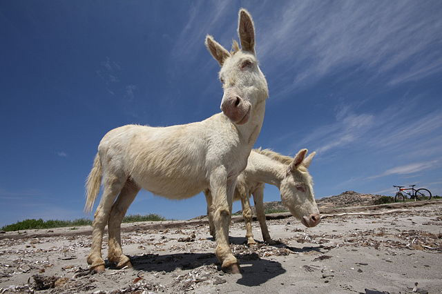 asinara white donkeys