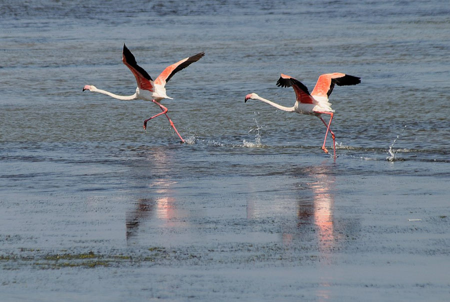 flamingos in porto pino beach sardinia